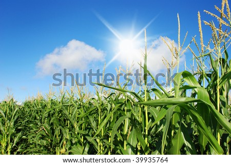 Maize on the field with sun and sky in the background - stock photo