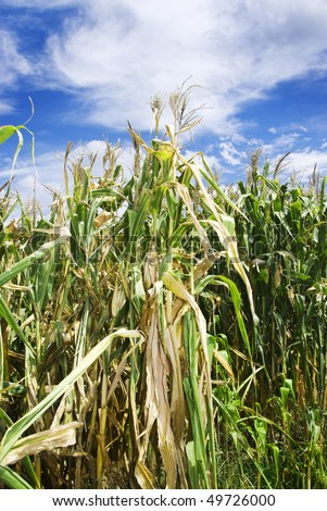 Maize plants on the field - stock photo