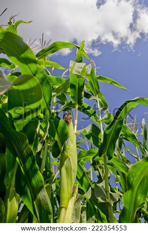 Maize, Sweetcorn Image looking up at a Maize plant with the corn on the stalk - stock photo