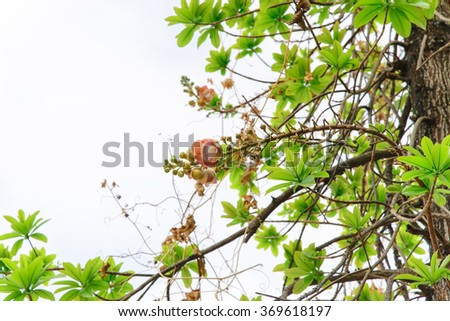Majenta flower on tree from low angle,temple,thailand - stock photo
