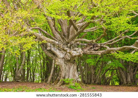 Majestic alone beech tree on the forest - stock photo