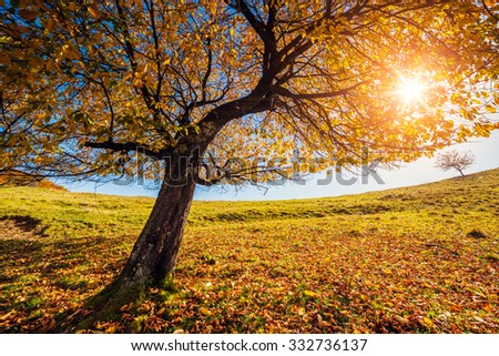 Majestic alone birch tree on a hill slope with sunny beams at mountain valley. Dramatic colorful morning scene. Red and yellow autumn leaves. Carpathians, Ukraine, Europe. Beauty world. - stock photo