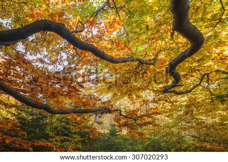 Majestic beech branches with orange leaves at autumn forest. Ideally as a background. Carpathians, Ukraine, Europe. - stock photo