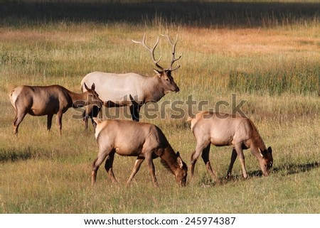 Majestic Bull Elk and cows (Cervus canadensis) in in Yellowstone National Park - stock photo