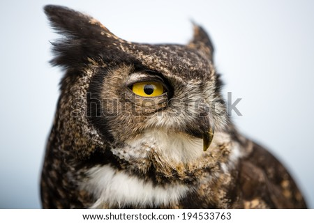 Majestic Great Horned Owl (Bubo virginianus) - stock photo