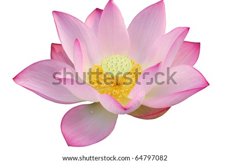 Majestic Lotus flower isolated on white background. - stock photo