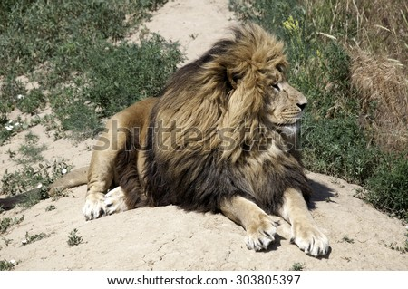 Majestic male lion looking to the left over the savanna - stock photo