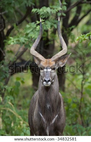Majestic male Nyala in the bush, head on shot - stock photo