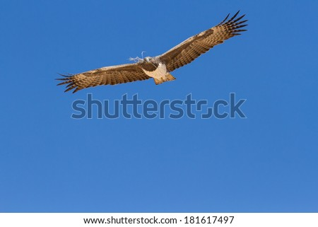Majestic martial eagle flying with branch for nest in blue Kalahari sky - stock photo
