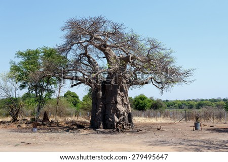 majestic old baobab tree (Adansonia digitata)) - Kasane, Botswana - stock photo