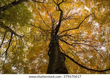 Majestic, old beech tree with golden leaves in autumn - stock photo