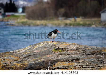 majestic oystercatcher bird standing on sea shore rock in summer sunlight - stock photo