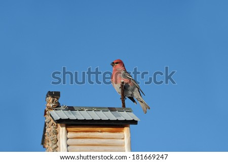 majestic red male pine grosbeak resting on a feeder on a clear winters day - stock photo