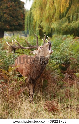 Majestic Stag braying wild Red Deer  in fern and wooded parkland - stock photo