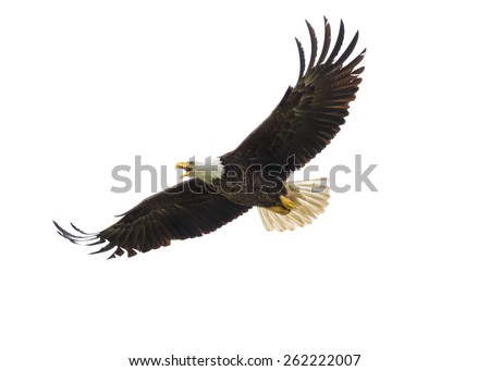 Majestic Texas Bald Eagle in flight against a white background - stock photo