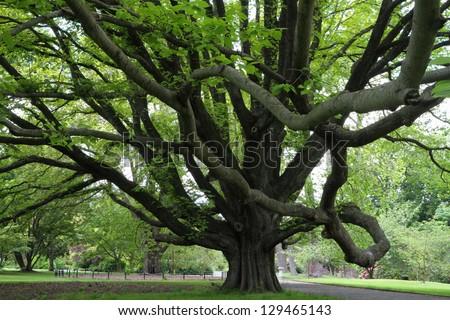 Majestic tree in Christchurch Botanic Garden, Canterbury, New Zealand - stock photo