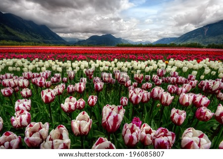 Majestically colorful tulip field with scenic mountains  - stock photo