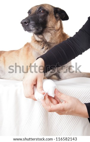 Making a paw bandage. First aid on a dog. - stock photo