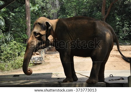 MALACCA, MALAYSIA â?? FEBRUARY 24, 2014: A wild elephant that has been placed at the Malacca Zoo in Malaysia. Elephant is housed in a fenced enclosure with a ditch filled with water. - stock photo