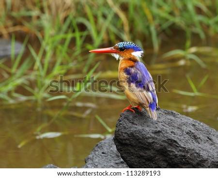 Malachite Kingfisher - stock photo