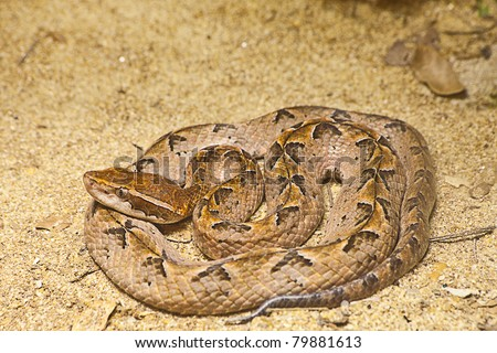 Malayan Pit Viper Snake on sand - stock photo