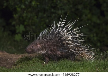 Malayan porcupine(Hystrix brachyura) in nature - stock photo