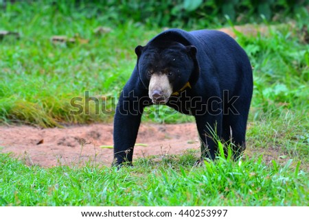 Malayan sun bear, Honey bear (Ursus malayanus) at Keng Krachan National Park,Thailand - stock photo