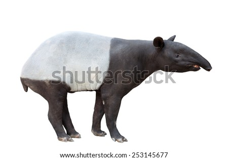 Malayan tapir or Asian tapir isolated on white background - stock photo