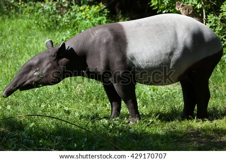 Malayan tapir (Tapirus indicus), also called the Asian tapir. Wildlife animal.  - stock photo
