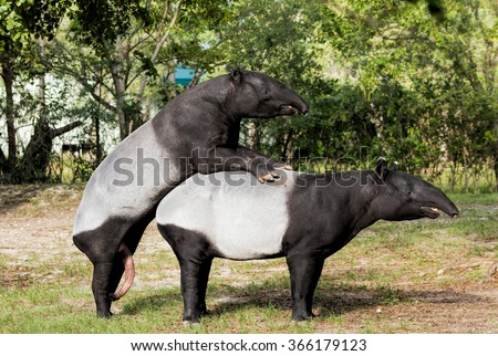 Malayan tapirs engaged in consensual sex - stock photo