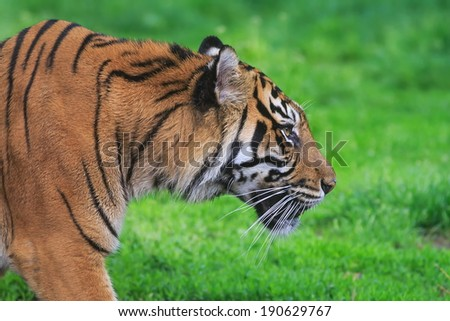 Malayan tiger goes the prey - stock photo