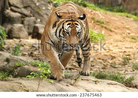Malayan Tiger prowling - stock photo