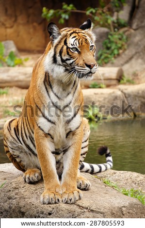Malayan tiger rest near the pond - stock photo