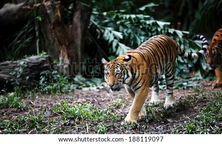 Malayan Tiger scientifically known as Panthera Tigris Jacksoni, roaming in a wild jungle environment.  - stock photo