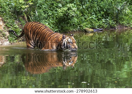 Malayan Tiger swimming Near a River - stock photo