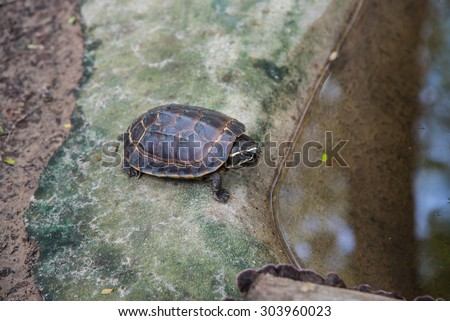 Malayemys macrocephala turtle in nature,soft focus - stock photo