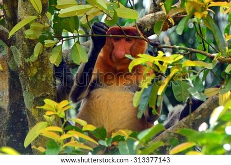 MALAYSIA - MARCH 1 : Proboscis monkey on 9 March 2015 in Malaysia, Borneo. Proboscis monkey is a unique species of monkeys endemic to Borneo. - stock photo