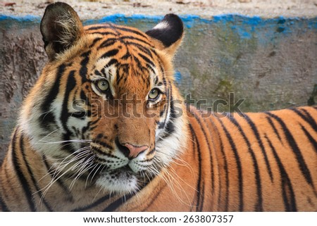 Malaysia October 17 2014 - Malayan tiger is a tiger subspecies that inhabits the southern and central parts of the Malay Peninsular and has been classified as endangered by IUCN in 2008. - stock photo