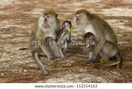 Malaysian monkey - stock photo