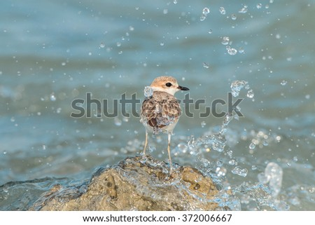 Malaysian Plover bird relaxing on rock in the sea - stock photo