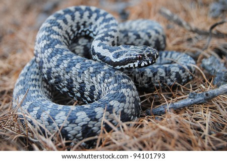 male adder (Vipera berus)  - pattern - stock photo