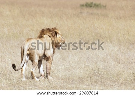 Male  adult African lion  (Panthera Leo)  in grasses of  Masai  Mara National Park, Kenya, East Africa - stock photo