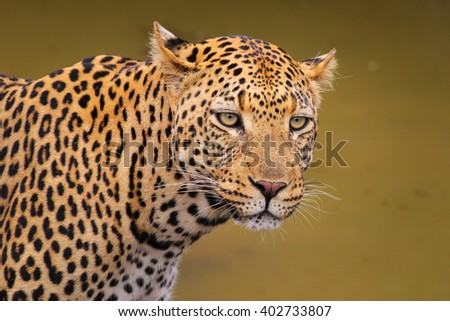 Male adult leopard on the prowl, South Africa - stock photo