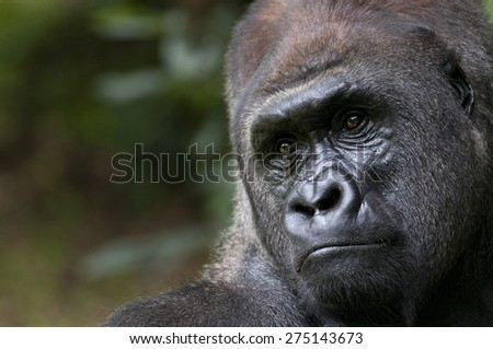 Male Adult Lowland Gorilla on a Brinks of Extinction - stock photo