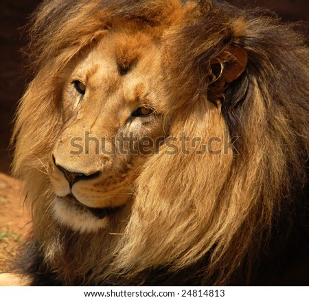 Male African Barbary Lion - stock photo
