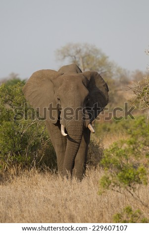 Male African Elephant in Kruger National Park South Africa - stock photo