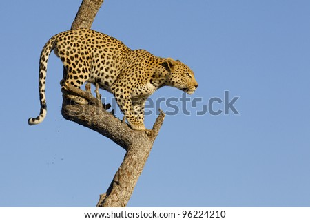Male African Leopard (Panthera pardus) in tree, South Africa - stock photo