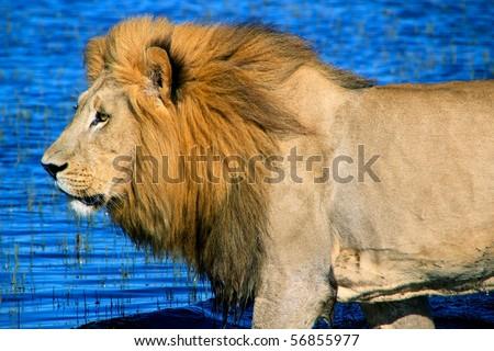 Male African Lion in water Okavango Delta, Botswana Africa - stock photo