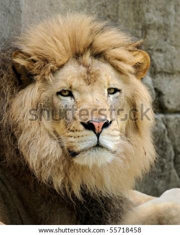 Male African lion (panthera leo) - stock photo