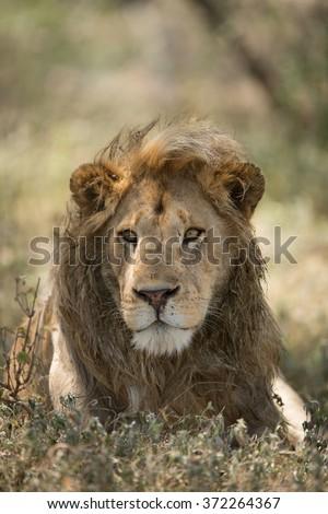 Male African Lion Portrait, Ndutu, Serengeti, Tanzania - stock photo